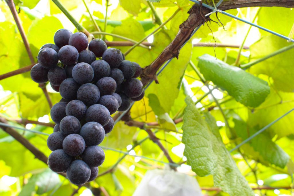 ブドウを冷凍するメリット