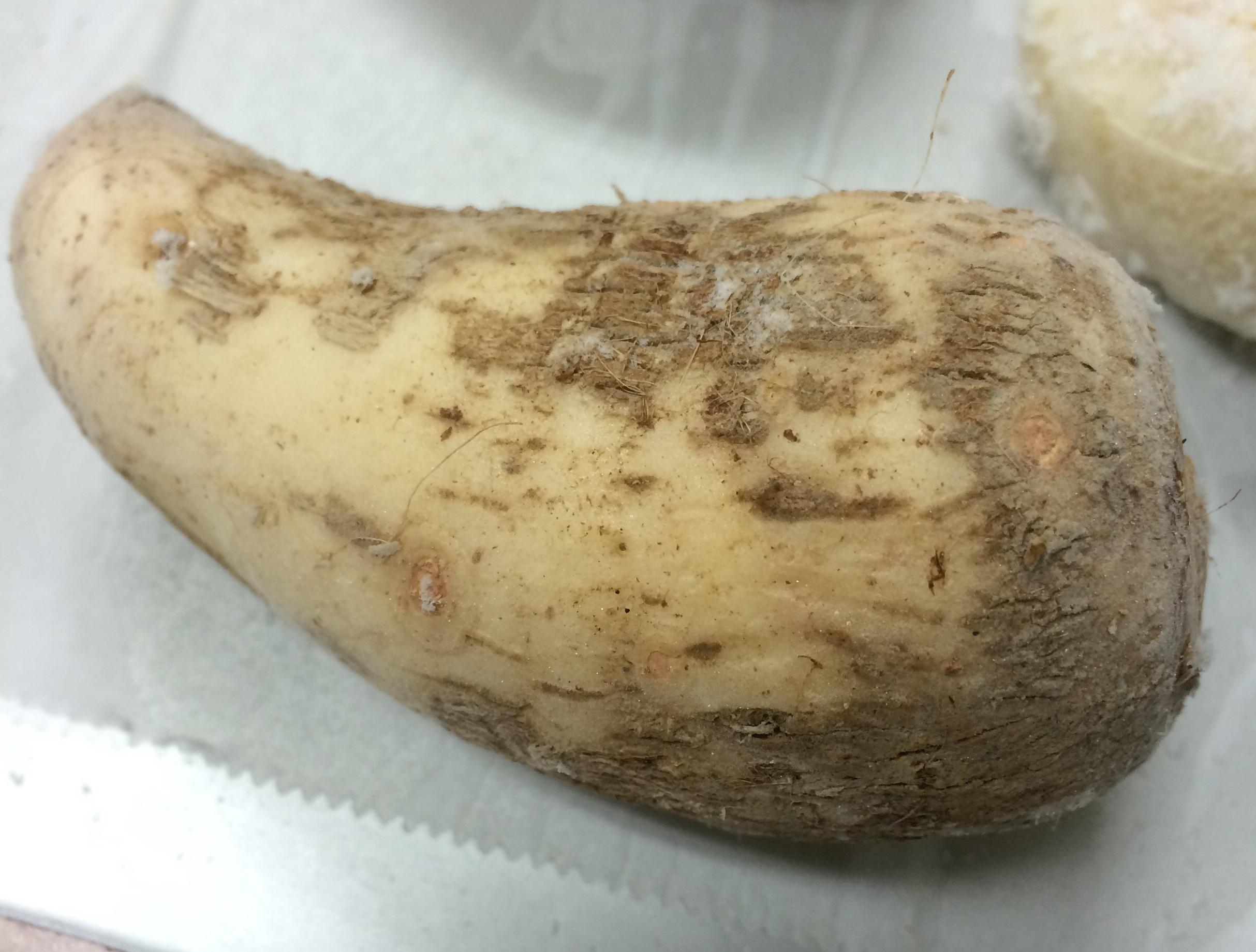 凍結後生の里芋